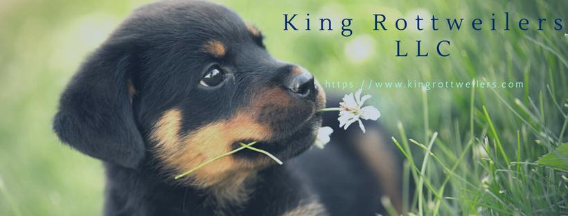 King Rottweilers LLC @kingrottweilers - PlayPing - Free Online